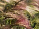 Foxtail Barley  Banff NP  Alberta  Canada