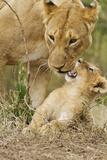 Lion with Young One  Maasai Mara Wildlife Reserve  Kenya