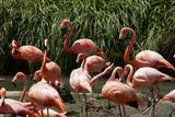 San Diego Zoo  Flamingo  California  USA