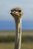 Ostrich  Etosha National Park  Namibia