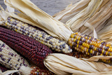 Fall Harvest Colorful Indian Corn  California  USA