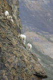 Mountain Goats  Kongakut River  ANWR  Alaska  USA