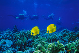 Yellow Butterflyfish with Scuba Divers in Background  Red Sea  Egypt