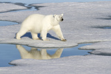 Polar Bear Reflected in Pool as it Walks across Ice  Svalbard  Norway