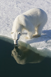 Polar Bear Reflected in Water While Drinking  Svalbard  Norway