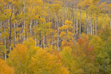 Aspen Grove in Peak Autumn Foliage  White River NF  Colorado  USA
