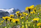 Rough Hawkbit in Full Bloom  Zillertal Alps  Austria