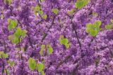 Purple Blossoms on Redbud Tree  Multnomah County  Oregon  USA
