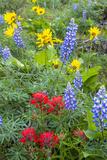Spring Wildflowers in the Columbia Gorge Near Rowena  Oregon  USA