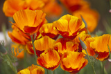 California Poppies in Bloom  Seattle  Washington  USA