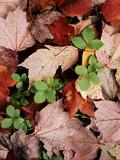 Common Strawberry Plant Poking Through Maple Leaves  New York  USA