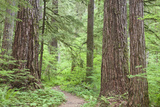 Olympic National Forest Trail Through the Forest Washington  USA