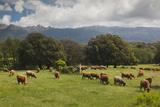 Cattle  Levie  La Alta Rocca  Corsica  France