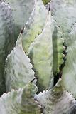 Agave Plant  Arizona-Sonora Desert Museum  Tucson  Arizona  USA