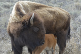 Bison Cow and Calf  Yellowstone National Park  Wyoming  USA