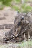 Warthog  Tsavo-West  Kenya