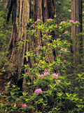 Rhododendrons Blooming in Groves  Redwood NP  California  USA