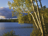 Paper Birch Along Fish Creek Pond at Sunset  New York  USA