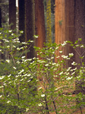 Giant Sequoias and Blooming Dogwood  Sequoia NP  California  USA