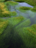 Spring Grasses in Calm Stream  Yellowstone National Park  Wyoming  USA