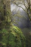 Moss-Covered Maple Trees  Oregon  USA
