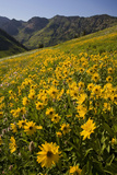 Sunflowers Meadow  Little Cottonwood Canyon  Albion Basin  Utah  USA
