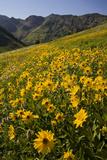 Sunflowers Meadow  Little Cottonwood Canyon  Albion Basin  Utah  USA