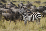 Zebra in the Wildebeest Herd  Maasai Mara Wildlife Reserve  Kenya