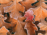 Frosted Vine Maple Leaf and Brown Oak Leaves  Pacific Northwest  USA