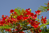 Flamboyant Tree in Bloom  Ile Royale  Salvation Islands  French Guiana