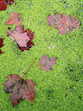 Maple Leaves in Duckweed  Adirondack Park and Preserve  New York  USA