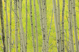 Aspen Trees  White River National Forest Colorado  USA