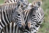 Plains Zebra  Maasai Mara  Kenya