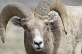 Bighorn Ram  Bighorn Sheep  Yellowstone National Park  Wyoming  USA