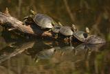 Western Painted Turtles  Sunning  Ridgefield NWR  Washington  USA