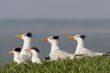 Royal Tern (Sterna Maxima) Nesting in a Colony  Texas  USA