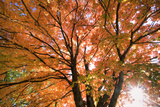 Maple Tree  Shawnee Mission Park  Johnson County  Kansas  USA