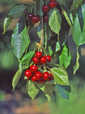 Close-Up of Cherries Hanging in Tree  Mosier  Oregon  USA