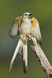 Scissor-Tailed Flycatcher (Tyrannus Forficatus) on Perch  Texas  USA