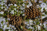 Tufted Phlox and Ponderosa Pine Cones  Washington  USA