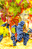 Cabernet Sauvignon Grapes Ready for Harvest  Washington  USA