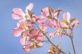 Pink Dogwood Blossoms Against Blue Sky  Seabeck  Washington  USA