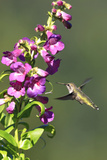 Anna's Hummingbird  Santa Cruz  California  USA