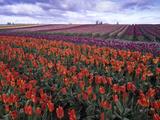 Orange and Purple Tulips  Skagit Valley  Washington  USA