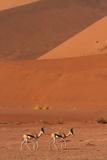 Springbok  Near Sossusvlei  Namib-Naukluft National Park  Namibia