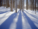 Dixie National Forest Aspens in Winter  Utah  USA