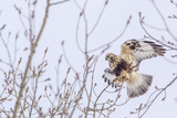 Rough-Legged Hawk in Winter in Flathead Valley  Montana  USA