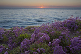 Flowers at Sunset  Del Mar Coast California  USA