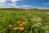 Wildflowers in Walla Walla Wine Country  Walla Walla  Washington  USA