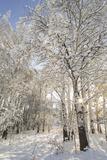 Fresh Snowfall on Quaking Aspens  Glacier National Park  Montana  USA
